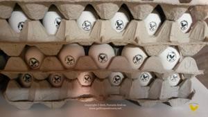 Selling eggs of Paduan hen