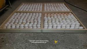 Uova pronte per la cova