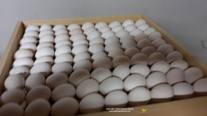 Basket of selected eggs