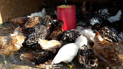 disponibilità adulti gallina padovana