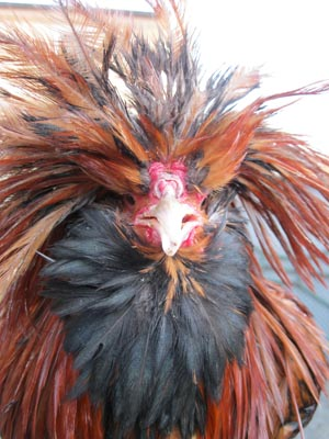 Detail of a male of gold laced Paduan hen