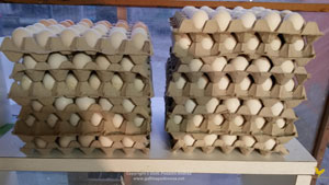 Eggs ready for hatching