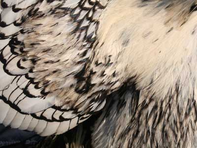 Detail of the plumage of the male of the silver laced Paduan hen