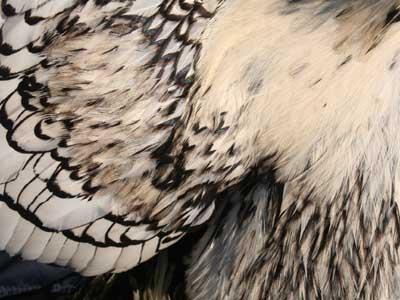 Piumaggio del maschio della gallina padovana argento orlata nero