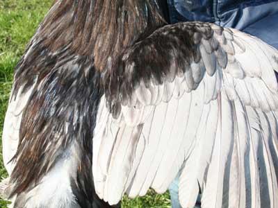 Particolare del piumaggio del maschio della gallina padovana blu orlata
