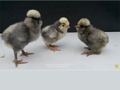 The chicks of the Paduan hen blue laced