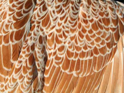 Detail of the plumage of the female of the Paduan hen chamois laced