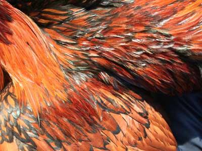 Piumaggio del maschio della gallina padovana oro orlata nero