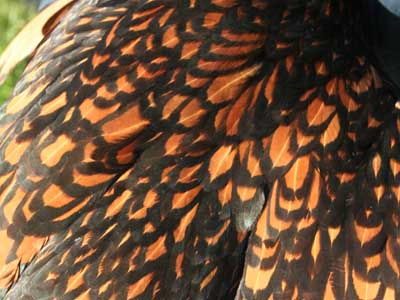 Detail of the female of the gold laced Paduan hen plumage