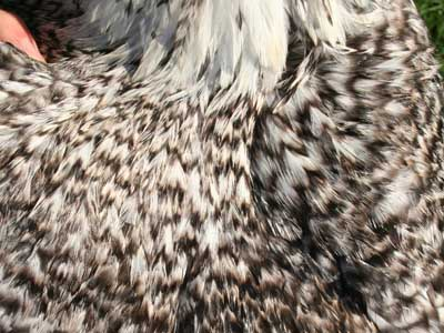 Detail of the plumage of the male of Paduan hen cuckoo