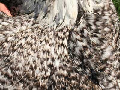 Particolare del piumaggio del maschio della gallina padovana sparviero
