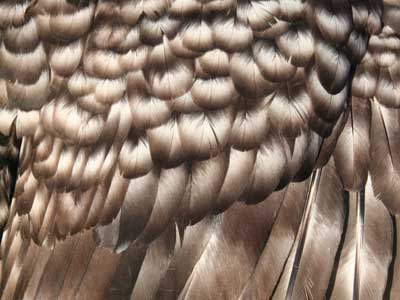 Detail of the plumage of the female of Paduan hen cuckoo