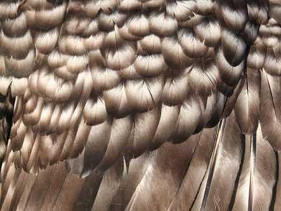 Particolare del piumaggio della femmina della gallina padovana sparviero