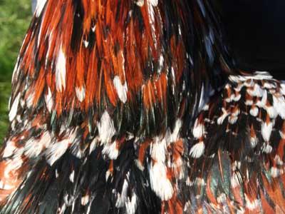 Particolare del piumaggio del maschio della gallina padovana tricolore