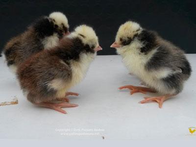 Pulcini della gallina padovana tricolore