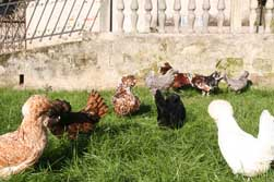 paduan hen photo
