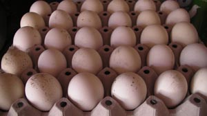 The eggs for incubation and hatching