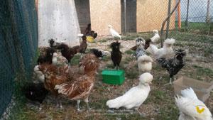 Sale chicks and pulcinotti of Paduan hen
